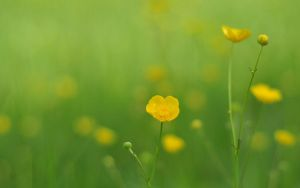 buttercup by Bhesi