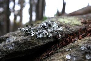 Tube Lichen by rdswords