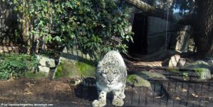 Snow leopard III by Cansounofargentina