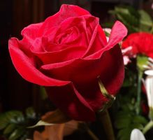 Red Rose II by AppleBlossomGirl