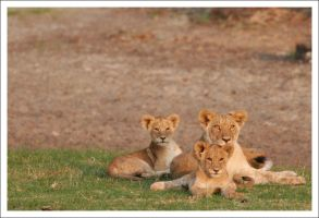 Lion Cubs - 2934 by eight-eight