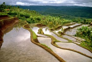 Rice paddy, Bali 1 by asiaseen