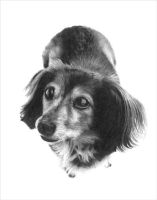Long Haired Dachshund by chandito