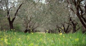 Through the olive trees by labeled-black
