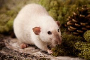 siamese rat by szorny-stock