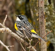 Yellow Rumped Warbler 5 Glenmore Park May 5 20 by sgt-slaughter