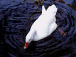 Duck Of Peace by Rosary0fSighs