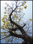 Tabebuia by LuciRamms