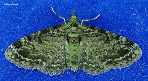 Green Pug Moth 1 2009 by seto2112