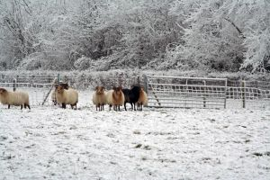 winterland with sheep 2 by priesteres-stock