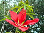 Texas Star Hibiscus by Calypso1977