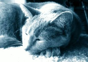 My Russian Blue by chitttick1