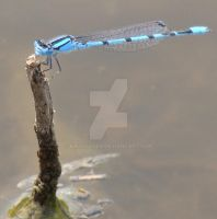 Northern Bluet Damselfly by kikyo4ever
