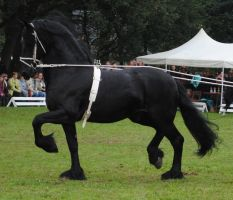 Friesian Stallion 02 by ponystock