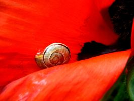 Snail on Poppy by DuchesseOfDusk