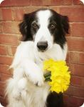 Daffodils From The Dog! by micromeg