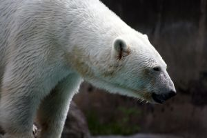 Polar bear profile close up by artbyjpp