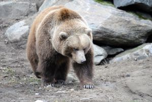 Walking Brown Bear by 8TwilightAngel8