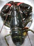 Lobster 01 by LithiumStock
