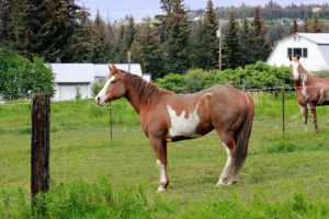 Sorrel Paint Horse Stock by GloomWriter