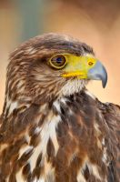 Buteo Buteo by Fusion-of-Fantasy