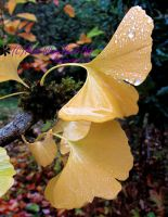 Rain Refreshed Ginkgo by Miss-Whoa-Back-Off