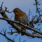 Robin.. by Alz-Stock-and-Art