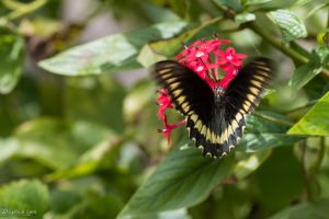 Polydamus swallowtail butterfly nectaring by CyclicalCore