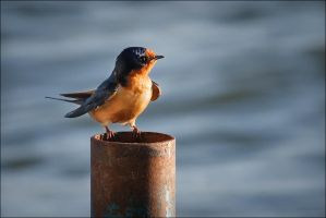 Barn Swallow by Behrfeet