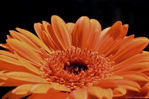Gerbera Daisy by Little-Miss-Splendid