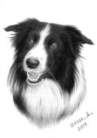 Border Collie. by Torsk1