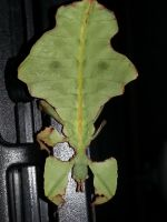 Leaf Insect by Salcinro