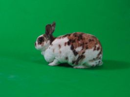 Green Screen Bunny 1 by TRANS4MATICA