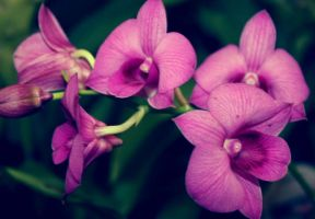 Orchid Cluster by druideye