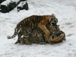 Pile of tigers by dimonas