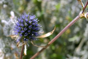blue flower by hazellucy