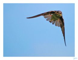 Wings of a Swallow by lynsea