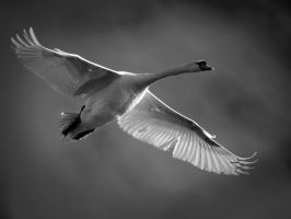 Swan study 1 by marcopolo17