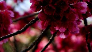 Cherry Blossoms by Adrienneknott