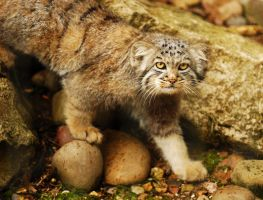 Pallas Cat Kitten by Shadow-and-Flame-86
