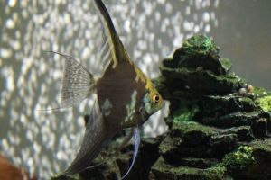 Black and White Angel fish by Blackmoonlight