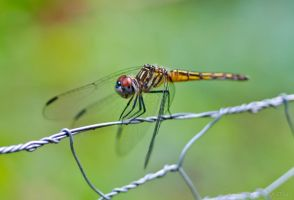 Dragonfly by MordsithCara