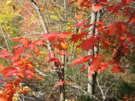 northern red oak by crazygardener