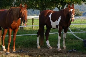 American Saddlebred Stock 33 by LuDa-Stock