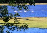 Swans by Akeen7000