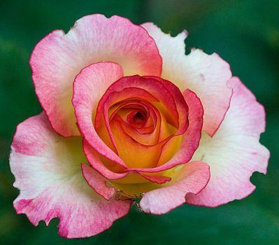 rose by EphemeralMind