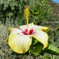 KRETA - Colorful Hibiscus 2 by cactusmumkate