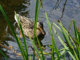 Duck in a Pond by abvt