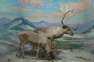Caribou Stock by Malleni-Stock