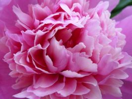 Peonies by Those-Are-The-Eyes